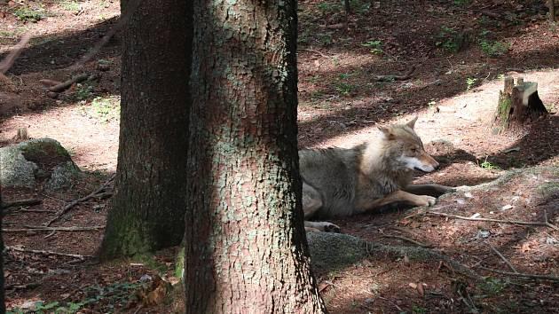 Návštěvnické centrum NP Šumava v Srní, kde je možné vidět i vlky