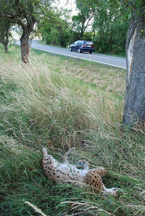 Na Šumavě hynou po srážce s automobily ohrožená zvířata - losi, rysové i další