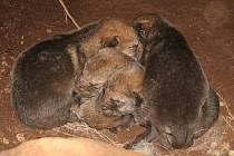 Nově narození obyvatelé  přírodním výběhu u návštěvnického centra zaměřeného na vlky v Srní.