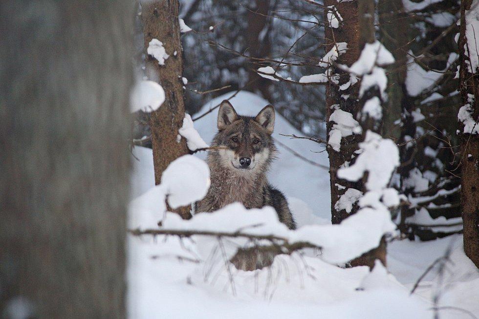 Vlk v návštěvnickém centru NP Šumava v Srní.