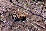 Oplocenky jsou smrtící pastí, teď v jedné zemřel muflon