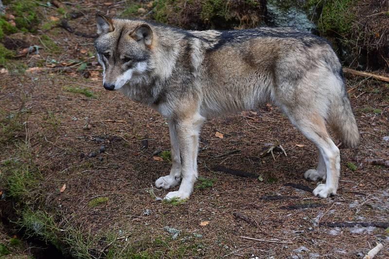 Pozorování vlků na Šumavě.