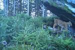 Populace šumavských rysů je stabilní, potvrzují to snímky z fotopastí.