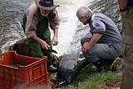 Rýžování zlata na Otavě v Horažďovicích