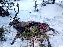 Vlci dokázali zabít statného jelena