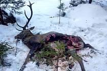Jelen stržený před několika dny vlky na Šumavě.