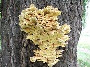 Vrba Pod Valy v Klatovech napadená houbou.