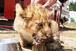 Redaktor Deníku si vyzkoušel krmení zvířat v Cirkuse Humberto