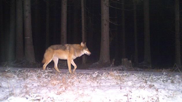 Vlci na Šumavě.