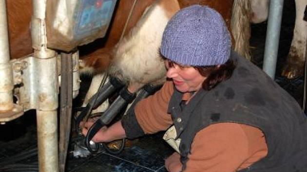 Už nyní je výroba mléka prodělečná například v Rolnickém družstvu v Dolanech, kde jsme při odpoledním dojení zachytili ošetřovatelku dojnic Janu Valešovou.