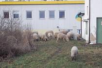 Ovce pobíhající v sousedství obchodního domu.
