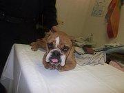 Na Klatovsku byli nalezeni dva zubožení psi, jichž se nejspíše zbavil majitel nelegální množírny.