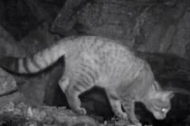 Kočka divoká zachycená fotopastmi.