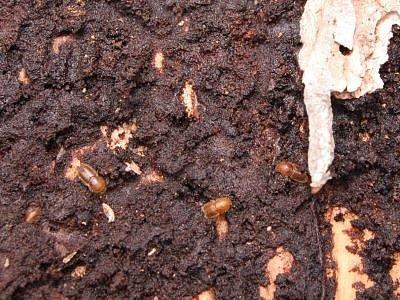 Lýkožrout smrkový, ilustrační foto