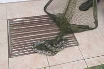 Odchyt hada v Klatovech.