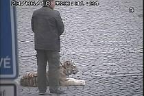 Tygřici, kterou na náměstí zachytily kamery městské policie, si chtěl každý vyfotit.