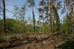 Těžbou dřeva poškozená lesní cesta na Zálabí v Kolíně.