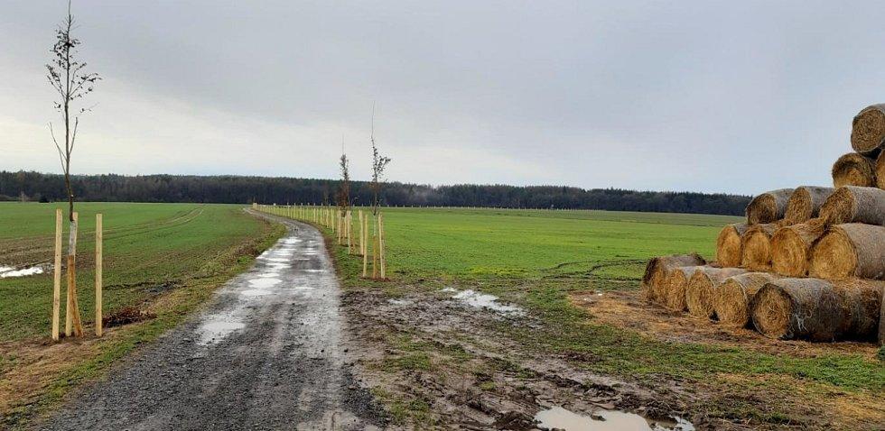 Vysazené stromy v Doubravčicích.