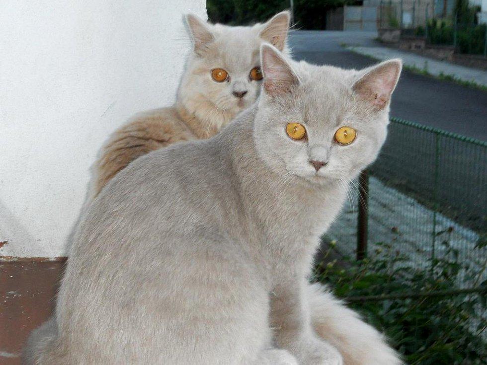 velká harry kočička