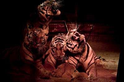 Sibiřští tygři cirkusu Andres