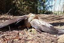 Luňák červený nalezený na Klatovsku. Zaťaté pařáty a roztažená křídla naznačují, že pták zahynul v křečích následkem otravy.