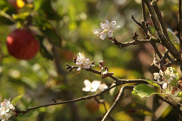 Na jabloni na zahradě rodiny Bělových najdete najednou květy i plody