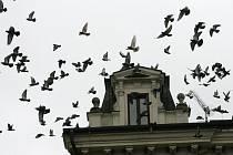 Holubi na Karlově náměstí v Kolíně
