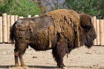 Typickým znakem bizona je nahrbený postoj a celkově mohutné tělo. Koncem 19. století byli na prériích téměř vyhubeni, třebaže jich tam žily miliony. Díky včasné ochraně se je podařilo zachránit.