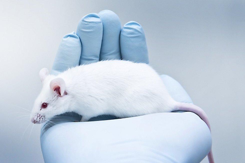 Laboratorní myš. Ilustrační foto.