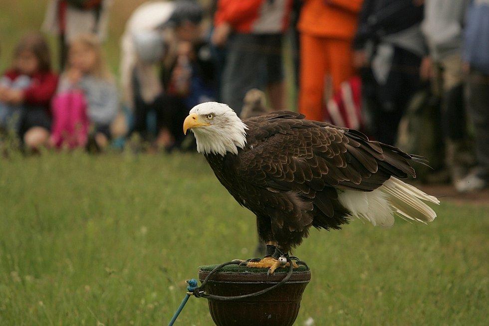 Letové ukázky dravých ptáků u kolínského psího útulku. 2.6. 2009