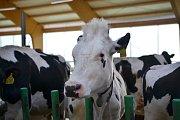 Moderní kravín dopřává zvířatům pohodu