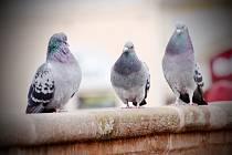 Kolínští holubi. Ilustrační foto.