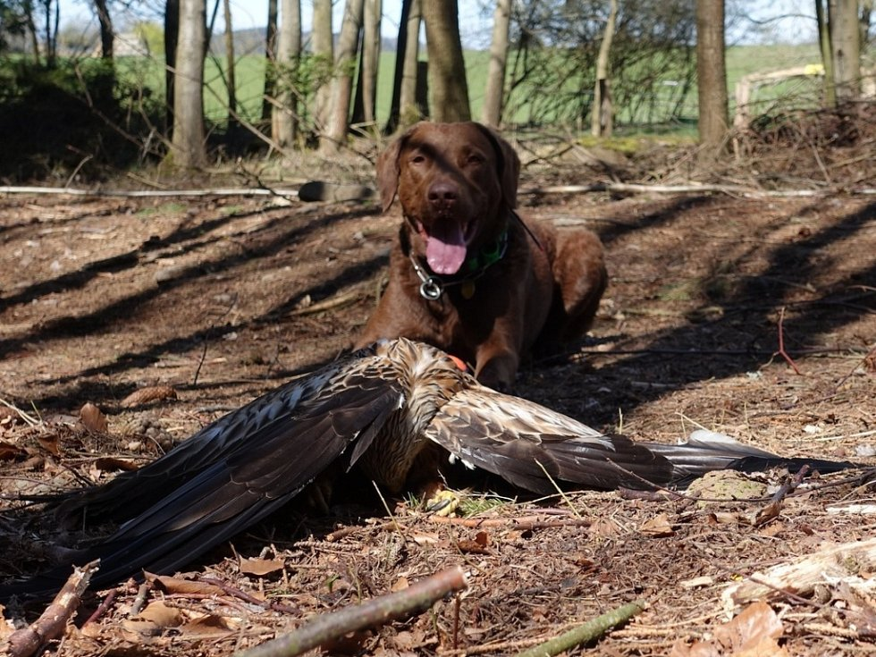 Pátrací pes Viky s nalezeným mrtvým luňákem červeným na Klatovsku.