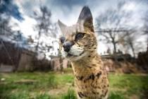 Africké šelmy připomínající velké štíhlé kočky se srstí geparda se vrátily do Safari parku.