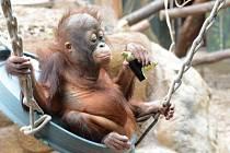 Opičí hrátky s koledou rozjasnily zoo