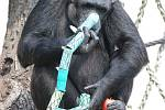 Šimpanz zkoumá papírového hada