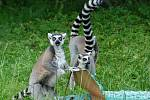 Do krokodýlí tlamy se odvážil jen jeden lemur