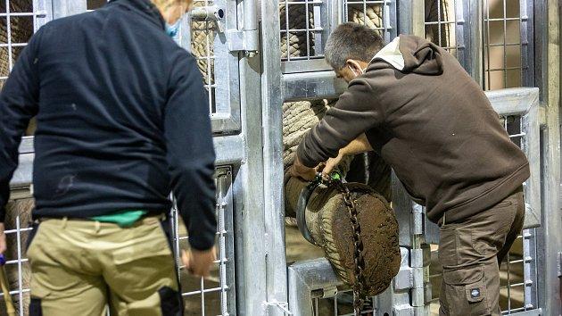 Transport nové slonice v Safari Parku Dvůr Králové