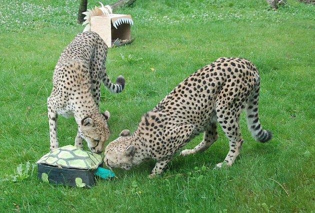 Gepardi dostali ke hraní želvu