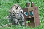 mládě levharta se chystá zaútočit na sovu