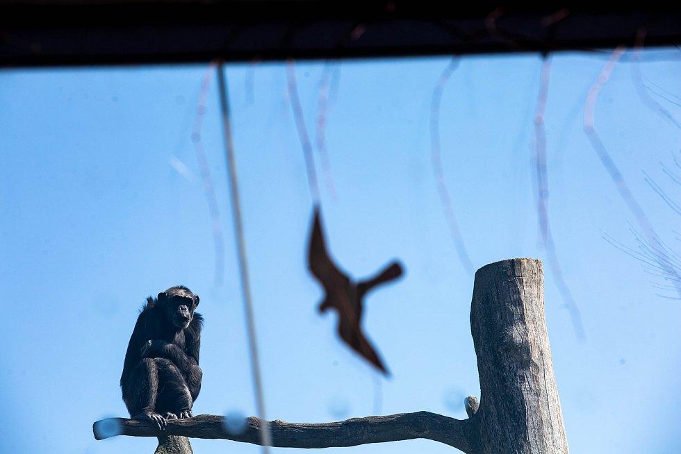 Šimpanz v uzavřeném Safari Parku Dvůr Králové nad Labem.