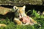 Párek tygrů se jmenuje Bonnie a Clyde