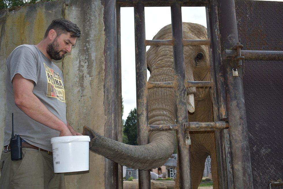 Zoolog Safari Parku Dvůr Králové Jiří Hrubý při krmení slonů.