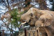 V safari parku ve Dvoře Králové si sloni Sali a Umbu pochutnávali na Vánočních stromcích.