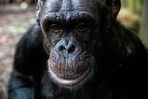 """Velké plátno promítá skupině šimpanzů čego ve Dvoře Králové živě jejich šimpanzí """"sousedy"""" zBrna. Jedinečný projekt má lidoopům zpestřit dny, kdy kvůli nucené uzávěře nemohou pozorovat návštěvníky."""