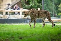 Novinkou Safari Parku Dvůr Králové jsou otevřené výběhy gepardů. Dvojici mladých gepardích bratrů Thomase a Toulouse je možné obdivovat přes vodní příkopy.