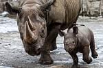 46. mládě vzácného nosorožce dvourohého, které se v zoo narodilo v prosinci 2018. Mladý sameček byl ve výběhu s dvanáctiletou matkou Maishou.