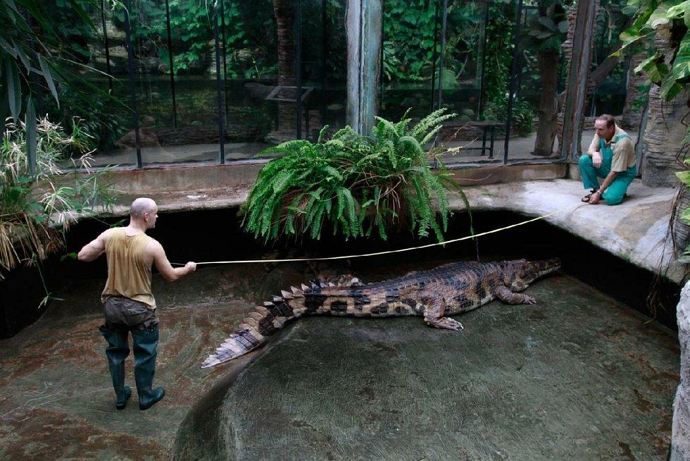 Jeden z největších krokodýlů v Evropě Kraken měří 515 centimetrů a váží nejméně 380 kilogramů. V létě opustí Dvůr Králové.