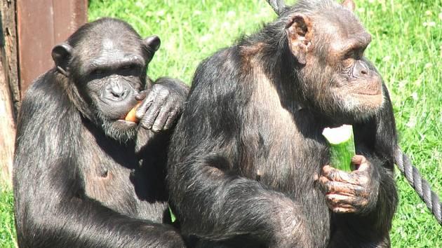 Šimpanz - Dvůr Králové