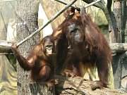 Krásný dárek dostala orangutaní rodinka ze Zoo Dvůr Králové, samička Žaneta a její mláďata, šestiletý Besar a devítiměsíční holčička Tessa. Ve středu 17. srpna je totiž ošetřovatelé vypustili do nového výběhu o 631 metrech čtverečných.